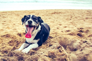 Panting Dog on the Beach