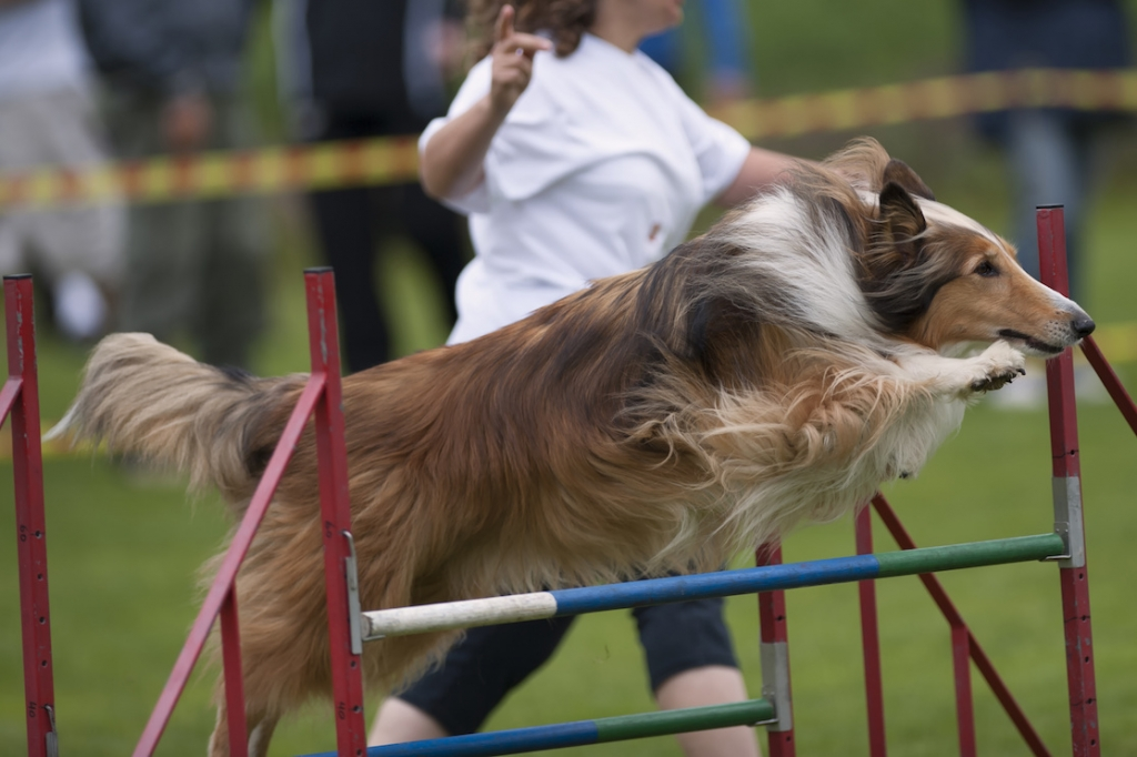 Beautiful Rough Collies in long jump on agility competition.