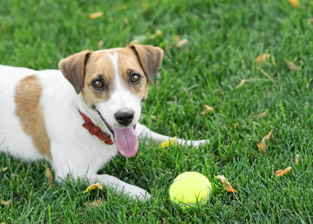 A happy dog Jack Russell Terrier lying resting after play with a small Tennis ball on green lawn outdoor at summer day