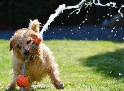 Hosepipe Norfolk terrier