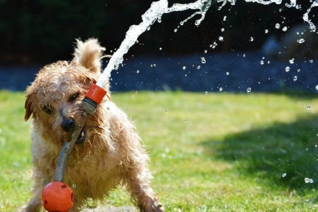 Hosepipe Norfolk terrier