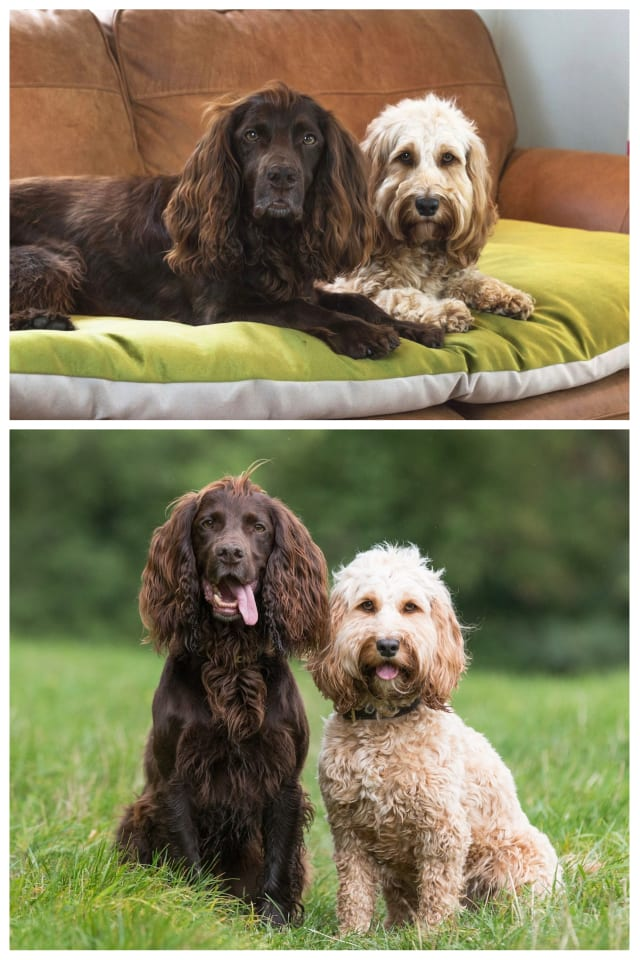 Favourite Dog Breeds Spaniels